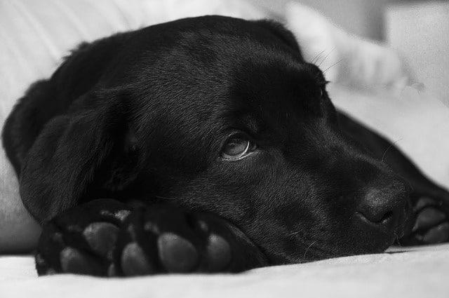 chien allongé et malade