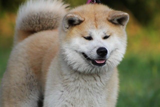 chien de race akita inu