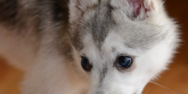 Race de chien Alaskan Klee Kai