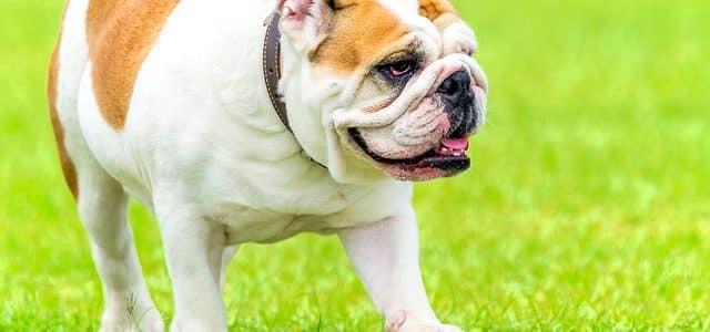chien de taille moyenne bulldog