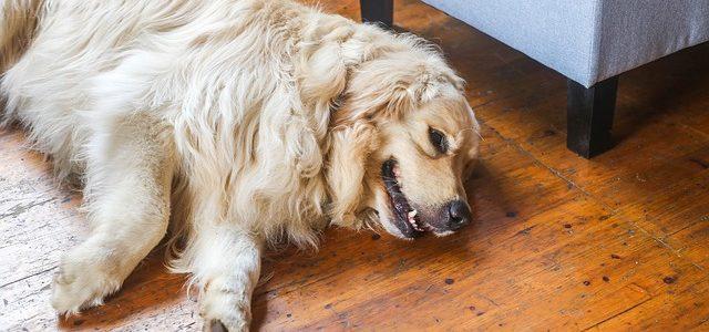 chien sans cage