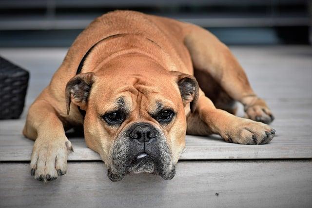 chien protégé par une assurance