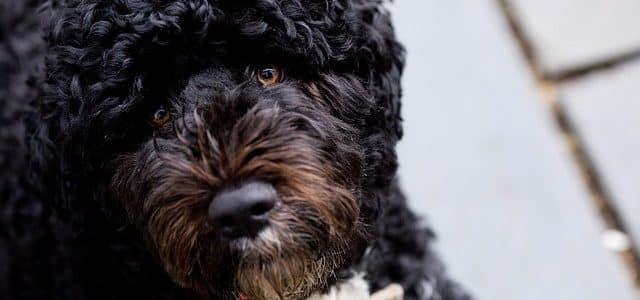chien d'eau portugais race
