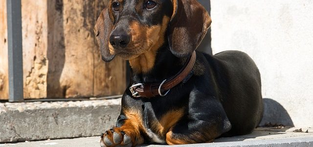 chien de race teckel