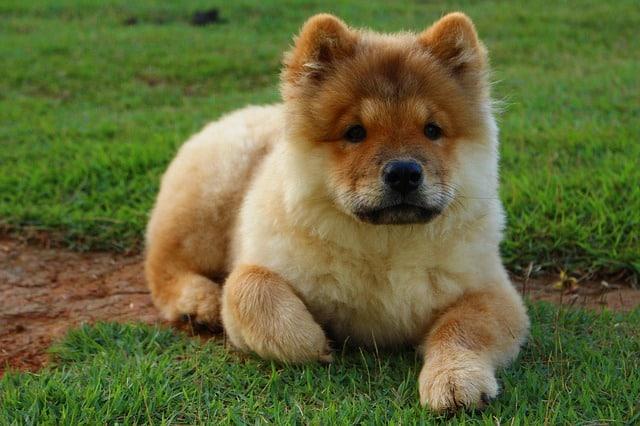chien de race chow chow