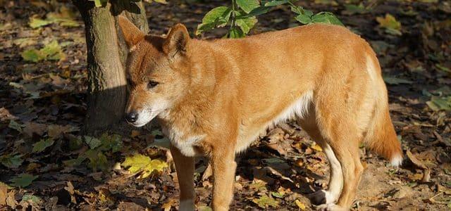 Race de chien Dingo