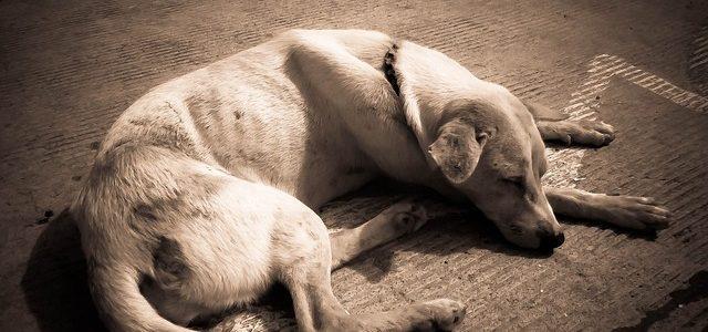 chien victime d'anémie