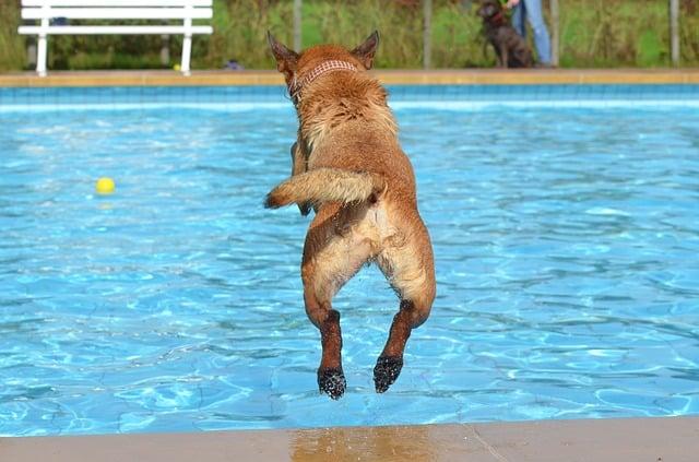 chien qui saute dans la piscine