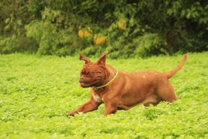 grand dogue de bordeaux