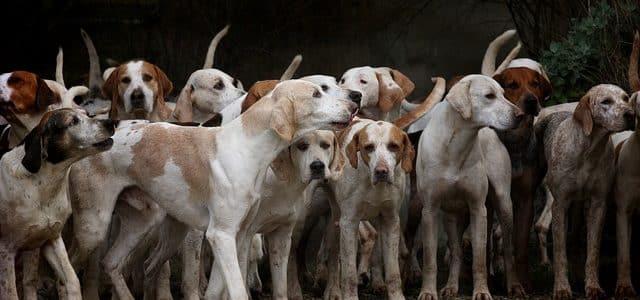 troupeau de chiens