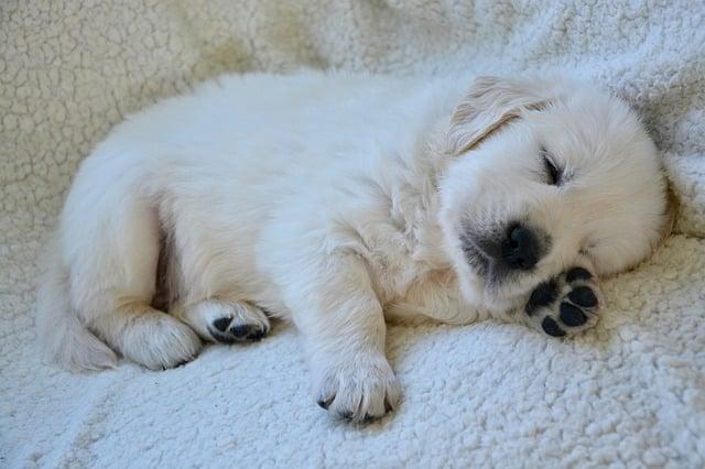 chien qui pleure en dormant