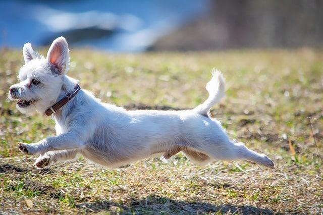 petit chien qui court