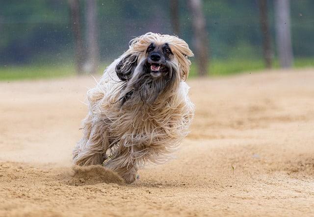 levrier greyhound