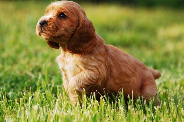 chien allergique dans l'herbe