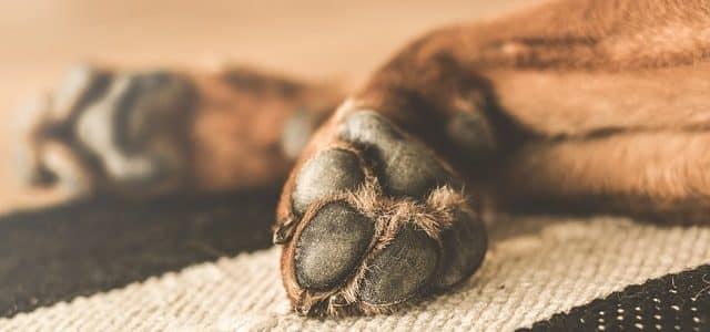 pattes d'un chien qui boite