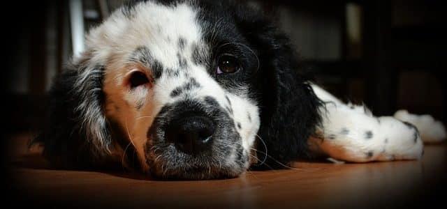chien malade sans assurance