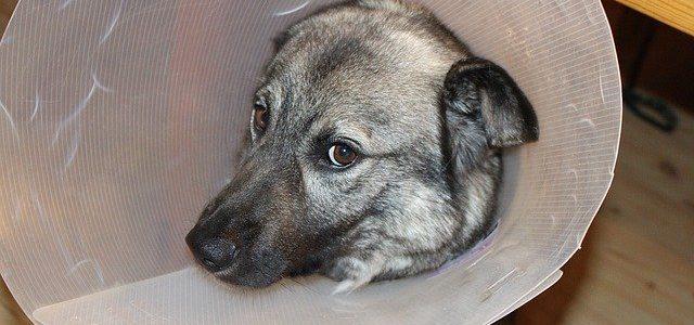 chien malade avec sa collerette