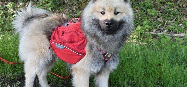 chien avec un sac sur le dos
