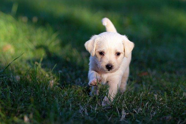 un chiot dans l'herbe