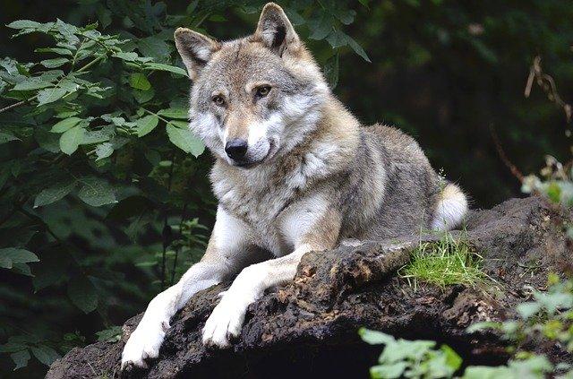 un loup parfaitement autonome