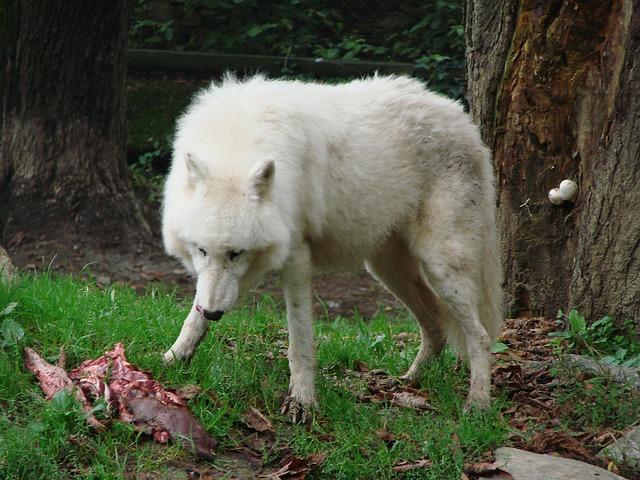 loup mangeant de la viande