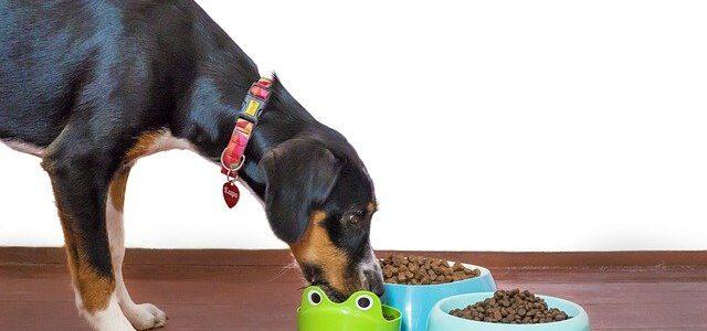 chiens mangeant des croquettes