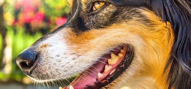 dents d'un berger australien