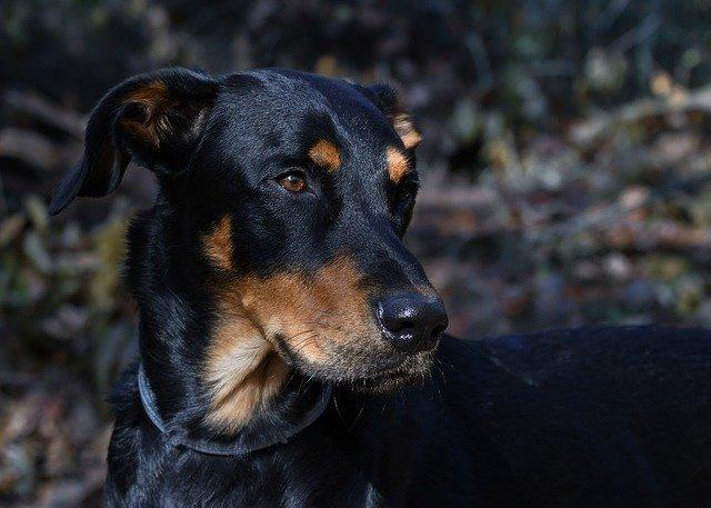 un chien de la race beauceron