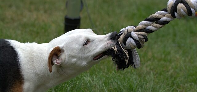 chien jack russell qui mord