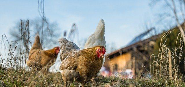 poules dans un poulailler