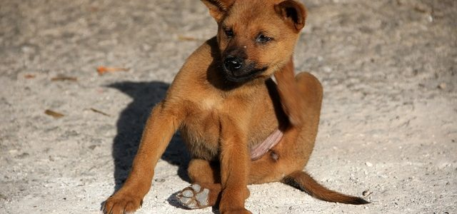 un chien qui se gratte à cause de puces