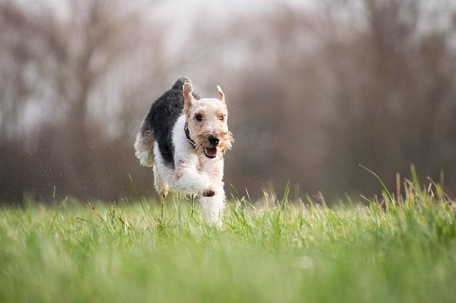 chien qui court dans un pré