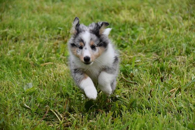 petit chiot qui court