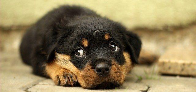 chien rottweiler surveillant son maître