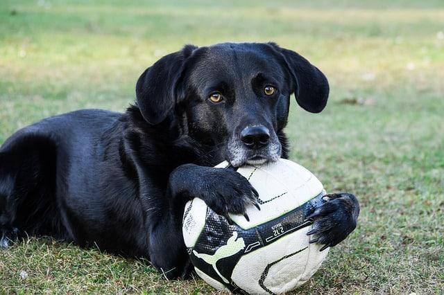 chien tenant un ballon de foot